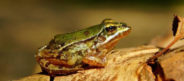 juvenit_pool_frog